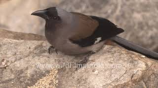 Himalayan Tree Pie is a forest bird that lives in the middle Himalaya, is shy and retiring