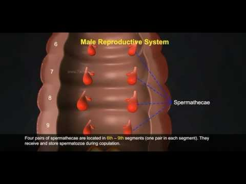 2 Reproductive System of Earthworm 512 1