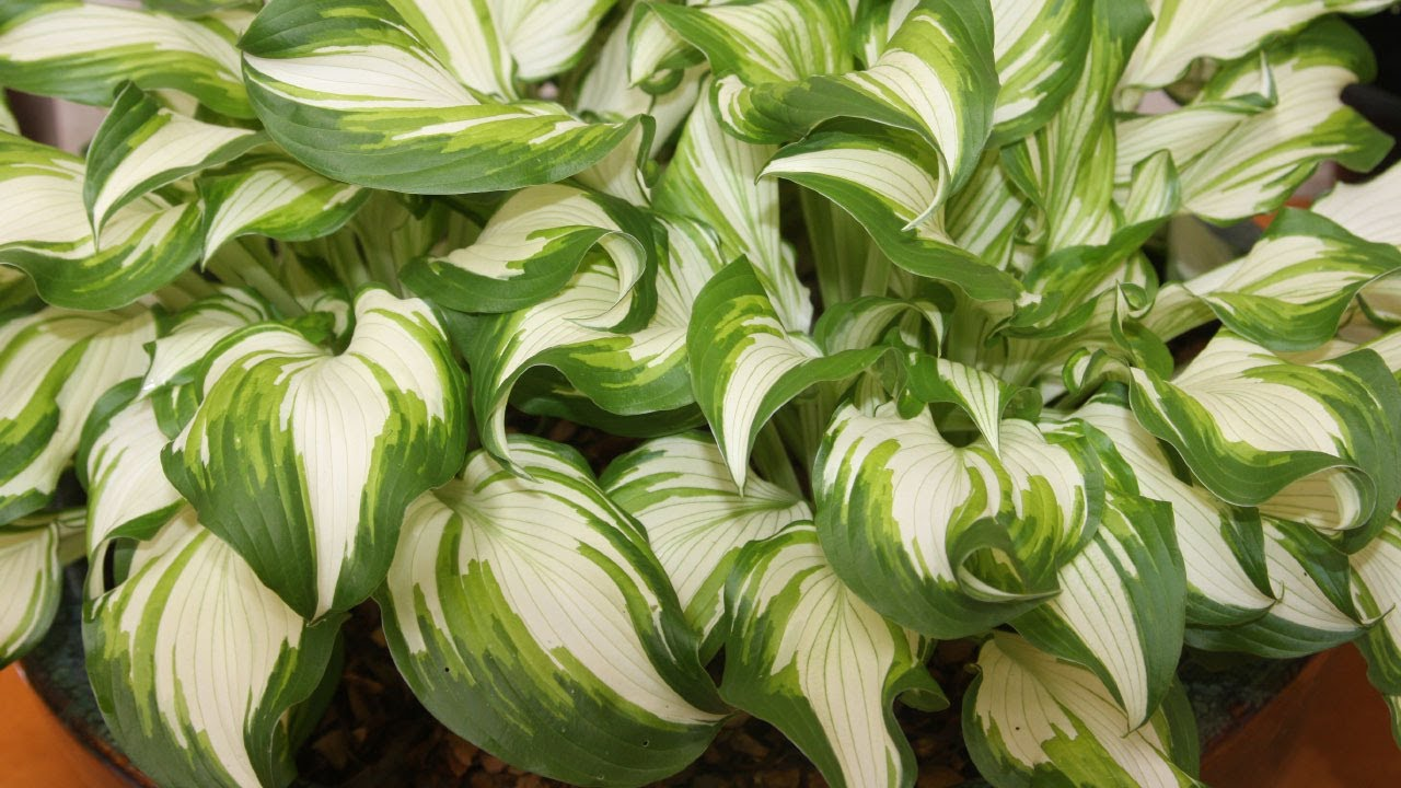 How To Grow Hostas In Containers Plantain Lily Youtube