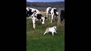 Bulldog Meets A Cow