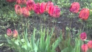 Рождение тюльпана... Вы видели?