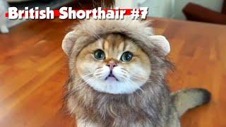 Golden British Shorthair #07 | Maple Cat | This is Cat