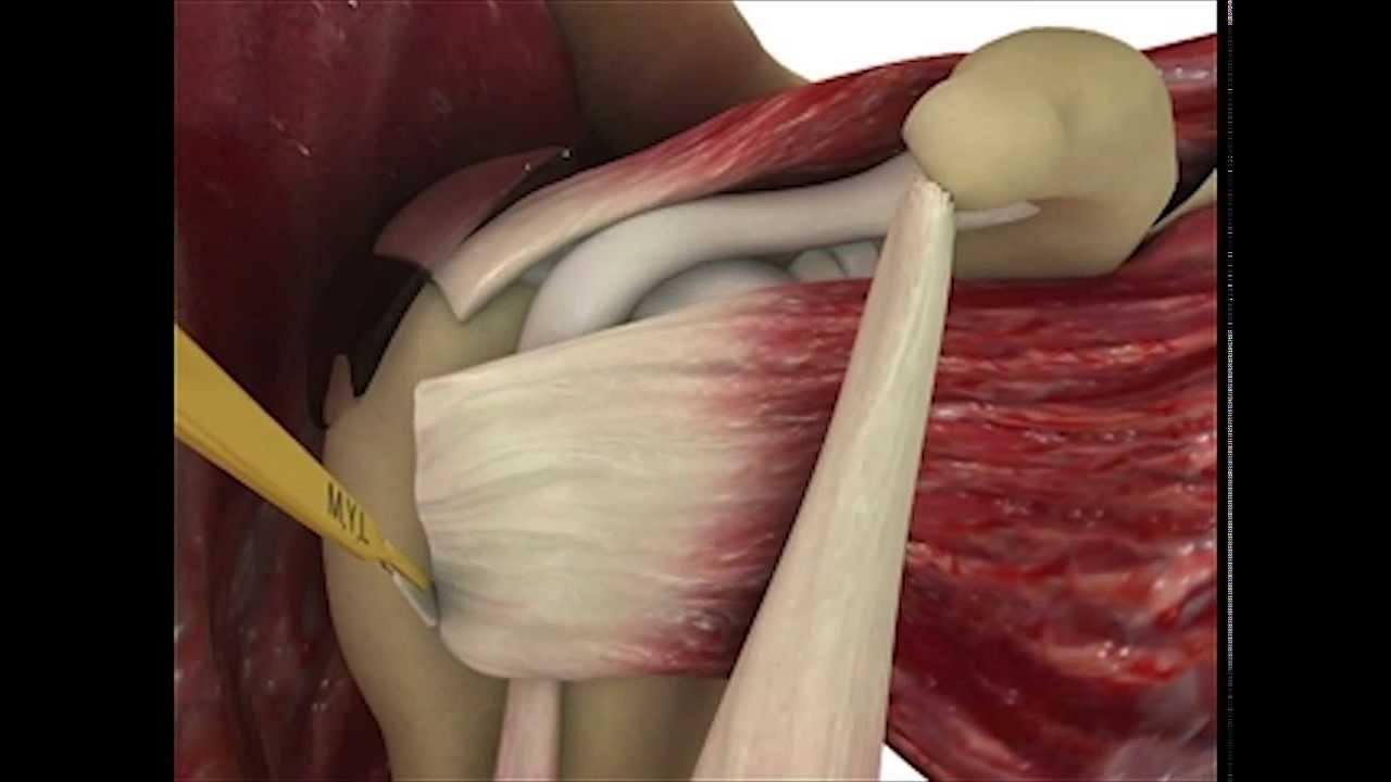 Standardizing 3D Medical Imaging: Shoulder Muscle ...