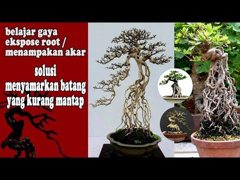 contoh-bonsai-ekspose-root-/-menampakkan-akar