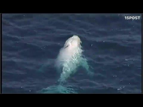 Estas imágenes de una rara ballena blanca te dejarán sin aliento - 15POST