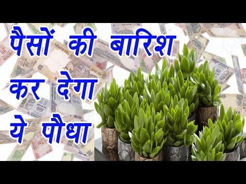Money Plant Crassula Ovata for prosperity, पैसों की