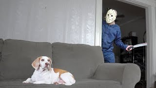 Dog Domesticates Jason Voorhees Funny Dogs Maymo & Penny