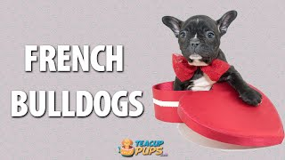 French Bulldog Puppies Brooklyn Nyc - 718-238-7387 - New York City