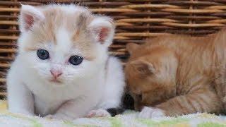 保護して家族になったかわいい三毛子猫の成長記録