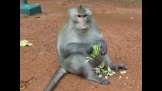 Камбоджа. Обезьяны(, 2012-07-02T17:06:36.000Z)