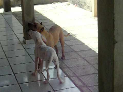 - Dogo Argentino x Pit Bull - YouTube