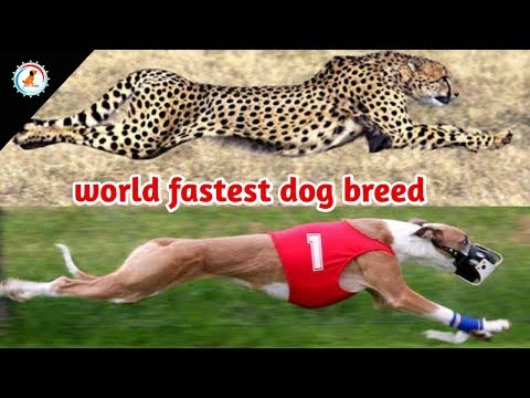 world fastest dog breed / Fastest Dog Breeds On This Planet