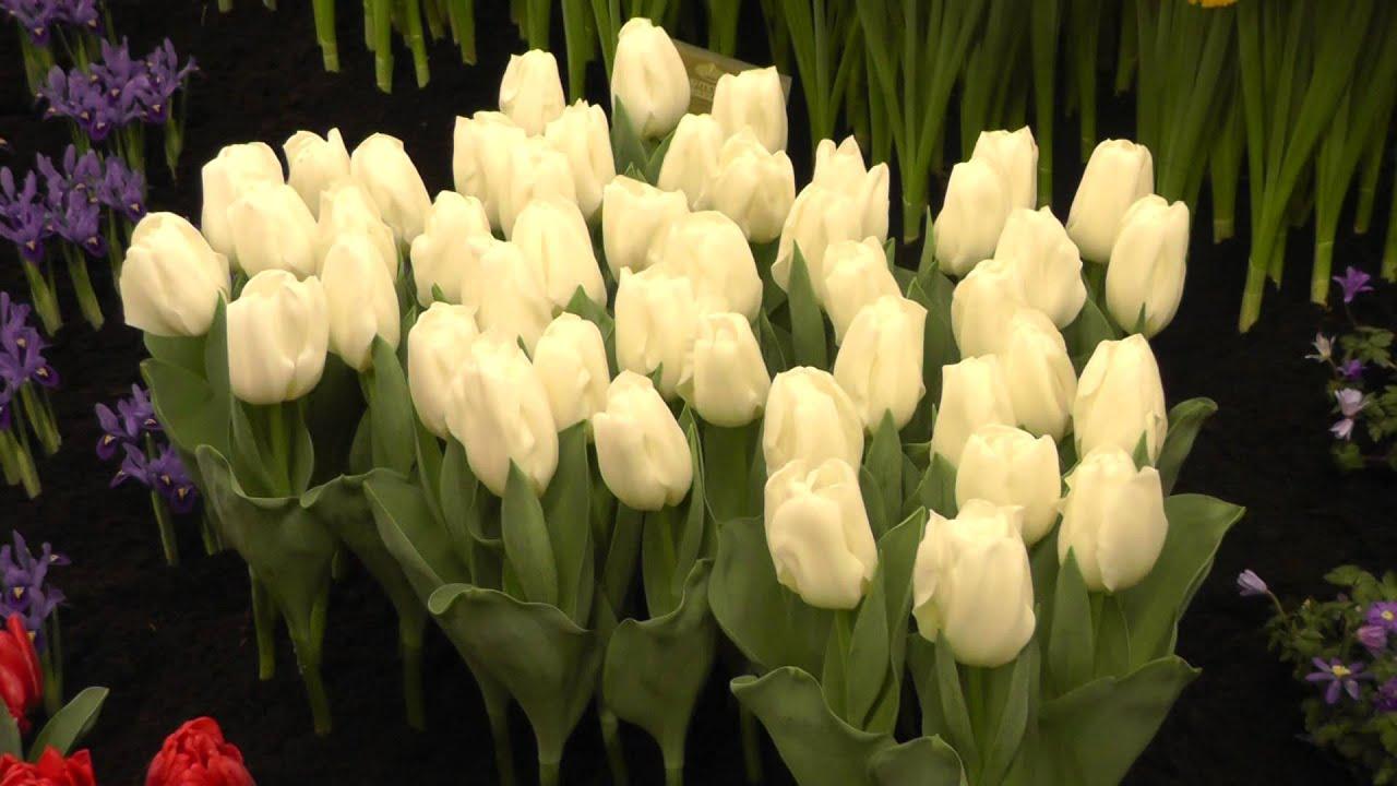 Tulip Lady Chantal White Tulip Flower Bulbs Youtube