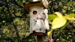 vuclip Sex blåmesungar lämnar holken.Six blue tit chicks leaves nest box.