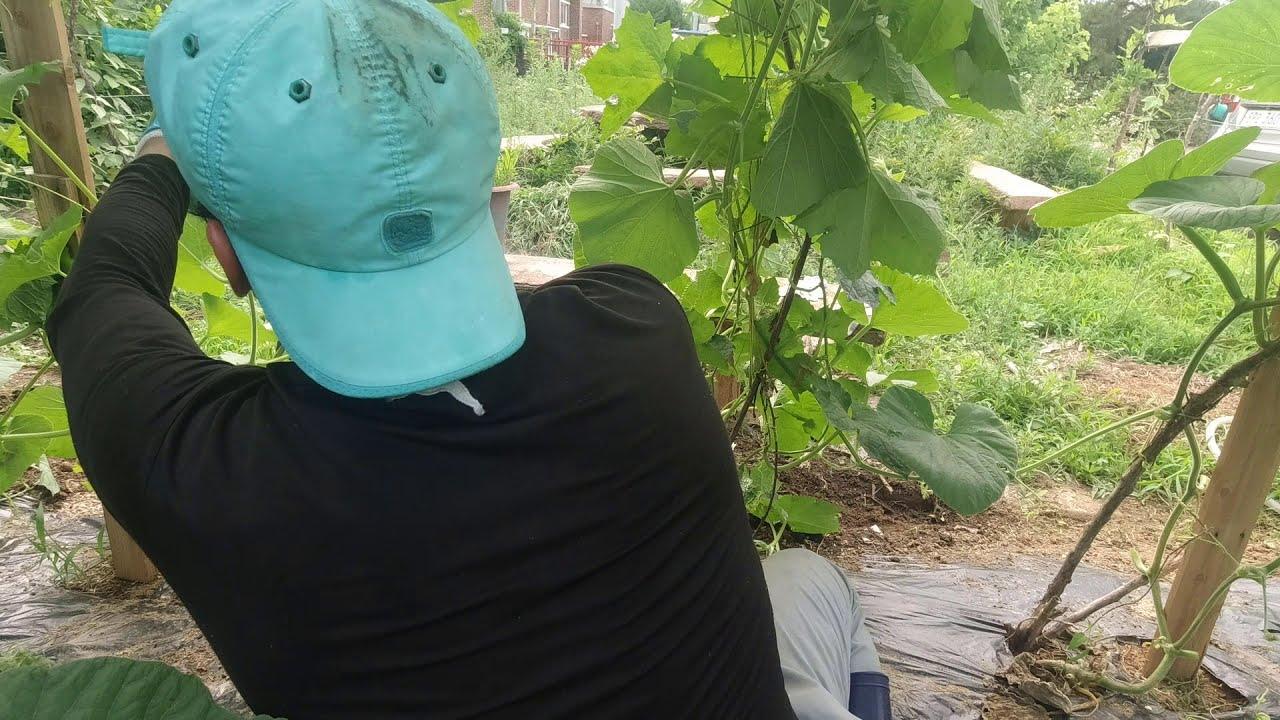 Kỹ thuật tỉa cành cà chua,bầu ,mướp để cho ra nhiều trái    Thành Luân Vê lốc