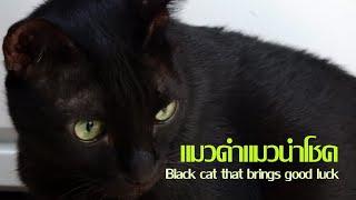 แมวดำนำโชค ( Black cat that bring good luck)