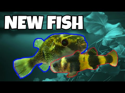 New Fish! Bumblebee Goby, Puffers, Tetras And More!