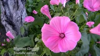 ЛАВАТЕРА - выращивание , уход, размножение