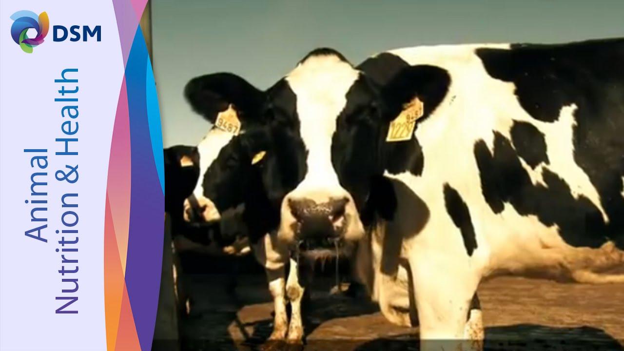 DSM ROVIMIX® Beta-carotene - For Optimum Reproductive Performance Of Cows -  (Japanese)