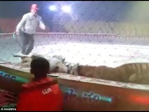 Shocking moment a lion AND tiger attack a horse at a circus in China.