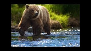 Медведи. Путь эволюции грозного хищника. Дикая природа. Фильм Nat Geo Wild HD 31.01.2017
