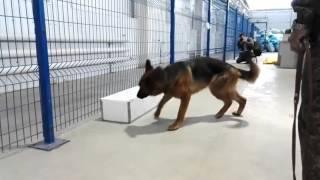 Работа служебной собаки в ММПО в аэропорту Толмачево