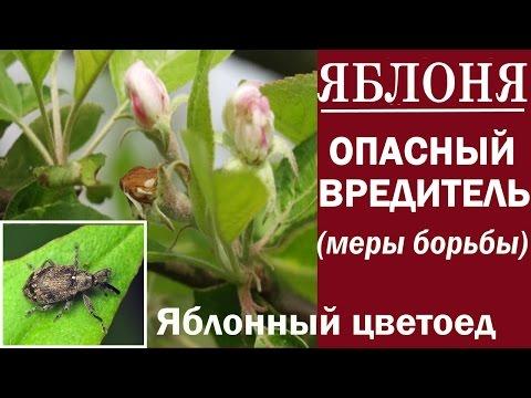 Вредители яблони.Яблонный цветоед. Как сохранить урожай.