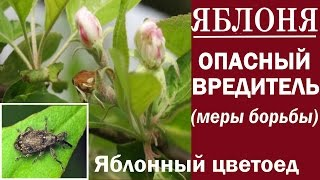 видео Яблоневый долгоносик цветоед: методы борьбы с вредителем