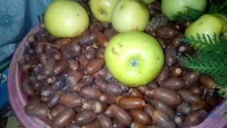 Чудодейственной рецепт кофе с желудями. Дары леса: грибы, пихта, лесные яблоки, груши - все в дом.