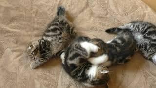Вислоухие мраморные котята