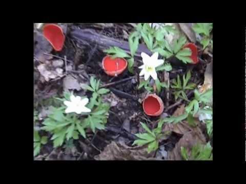 Грибы Сбор и заготовка грибов собираемых на Дальнем