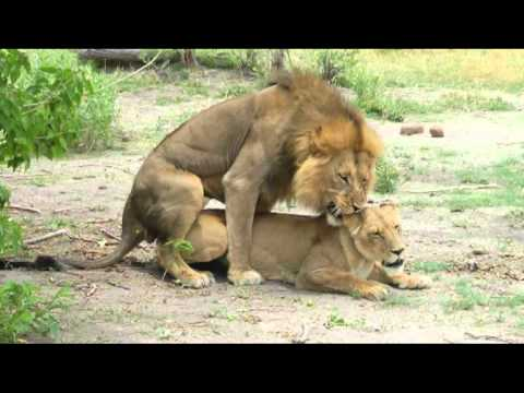 Mating Lions Parende Leeuwen In Moremi Botswana Youtube
