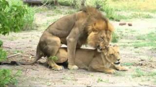 Repeat youtube video Mating Lions / Parende leeuwen in Moremi, Botswana