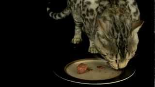 Introduction To Bengal Cats Part 3: Care & Maintenance