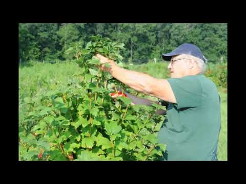 How We Grow These Cranberry Viburnum      Cuttings