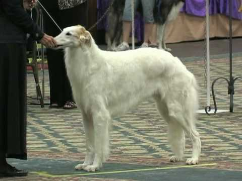 The 2010 Borzoi National Specialty