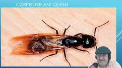 Quick East Fast Trick how to get rid of Carpenter Ants: How to stop Carpenter Ants