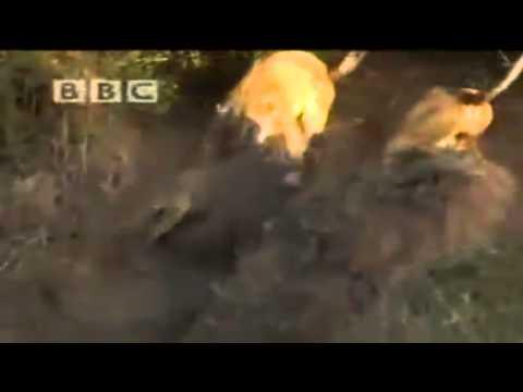 Kenhvideo.com-Cá sấu lên bờ hạ gục cả đàn sư tử