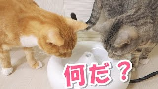 Funny cats , Chai (the brown tabby cat ) and Sushi ( the silver one...