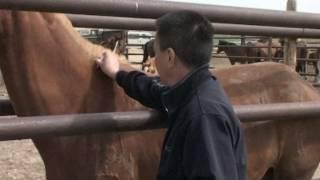 Чипирование лошадей