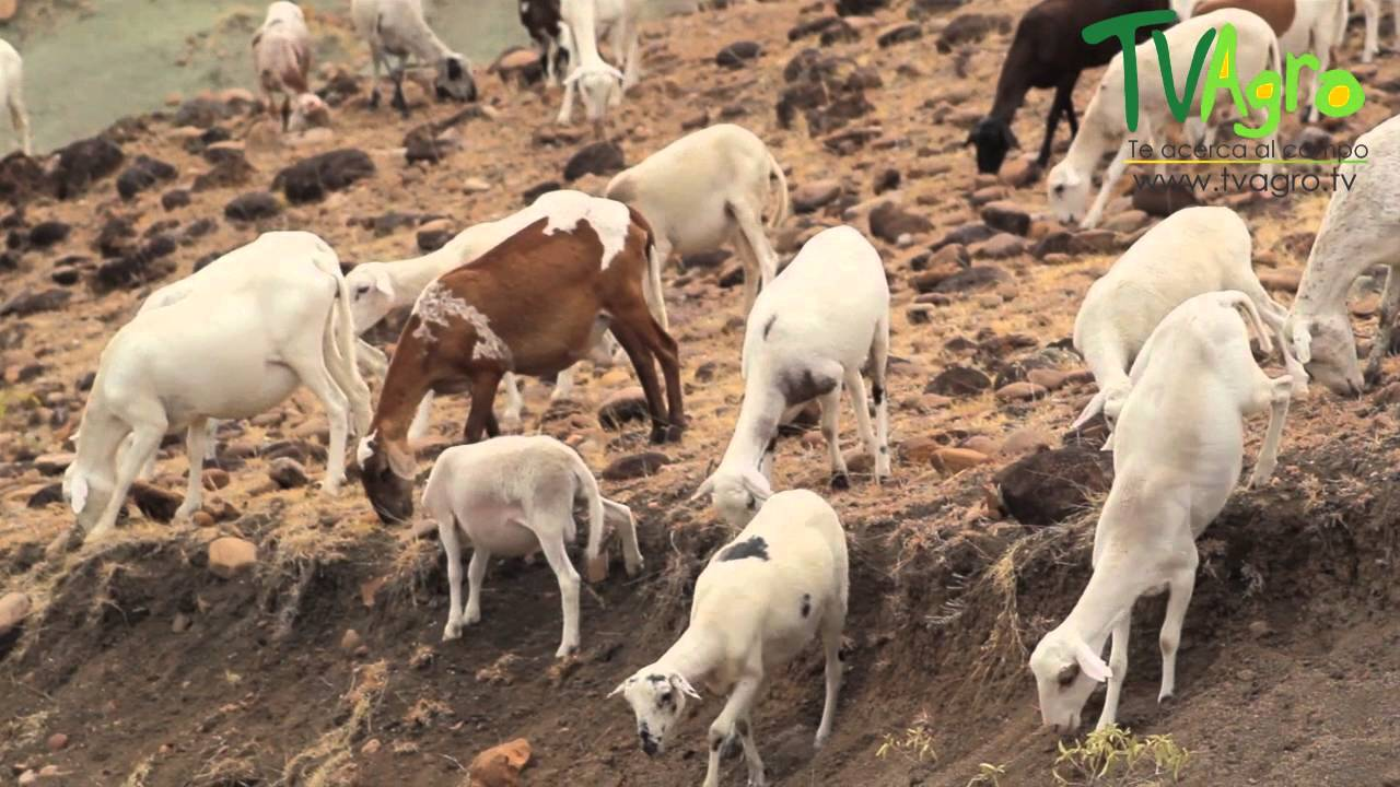 Cr a de cabras en el desierto de la tatacoa tvagro por for Criadero de cachamas en tanques