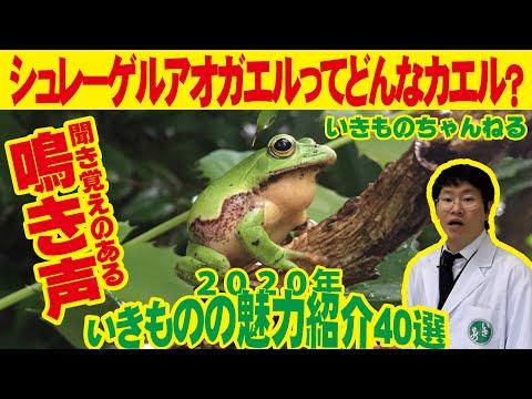 あつ 森 カエル の 鳴き声