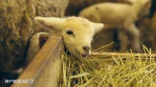神戸市立六甲山牧場のヒツジがベビーラッシュを迎えている。体長40セ...