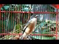 Suara Cendet Paling Jitu Mendongrak Emosi Cendet Lawan Langsung Gacor Emosi Ngajak Narung  Mp3 - Mp4 Download