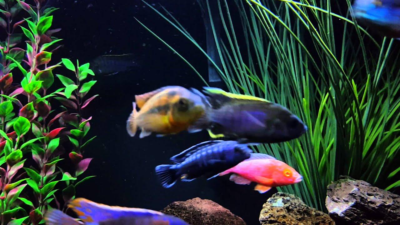 Freshwater aquarium fish cichlids - Brightest Cichlid Tank