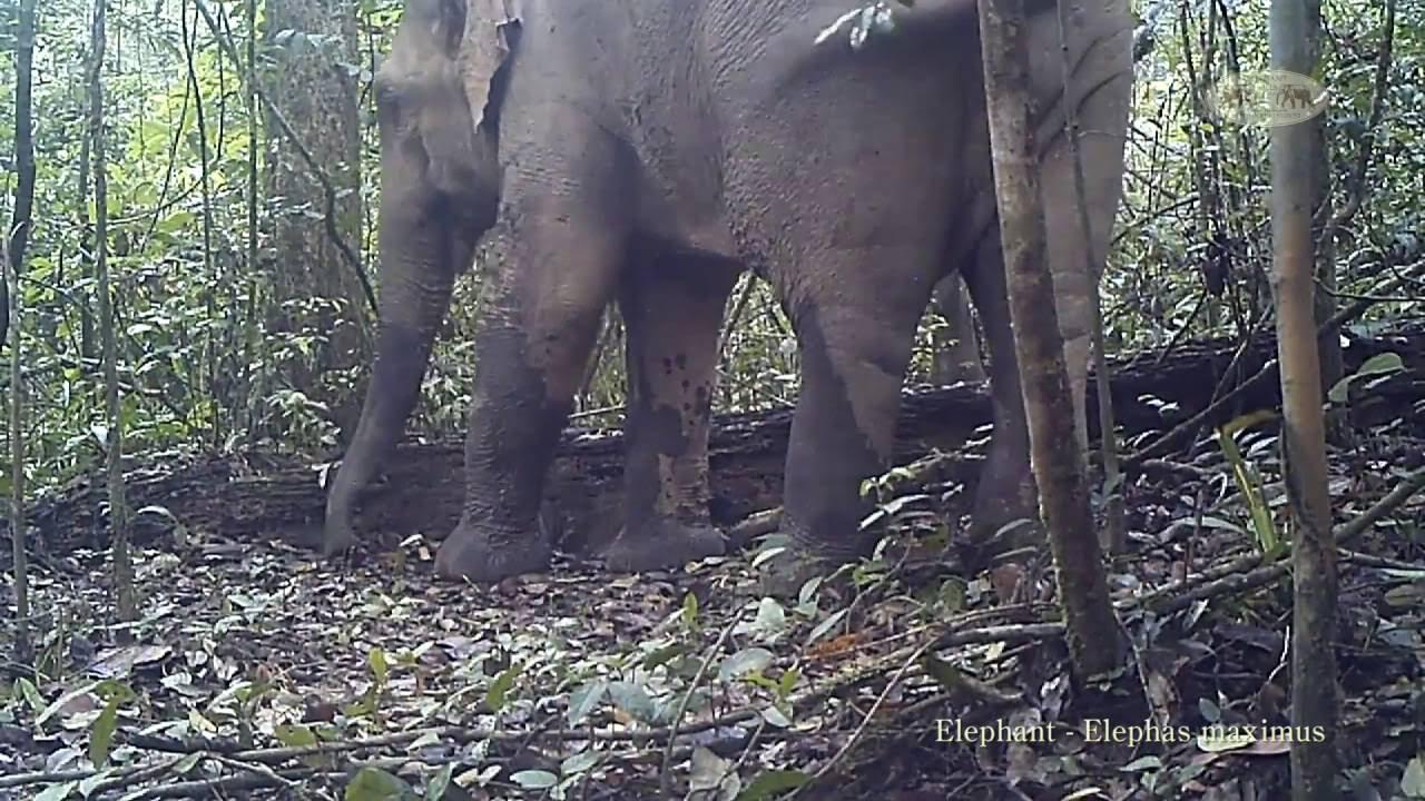 some of the last wild asian elephants filmed in khao sok