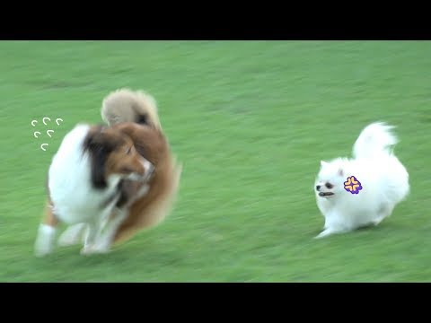pomeranian-acts-strong-in-front-of-big-dog-🐥-glamping-with-puppies-🌼-|-funny-cute-dog