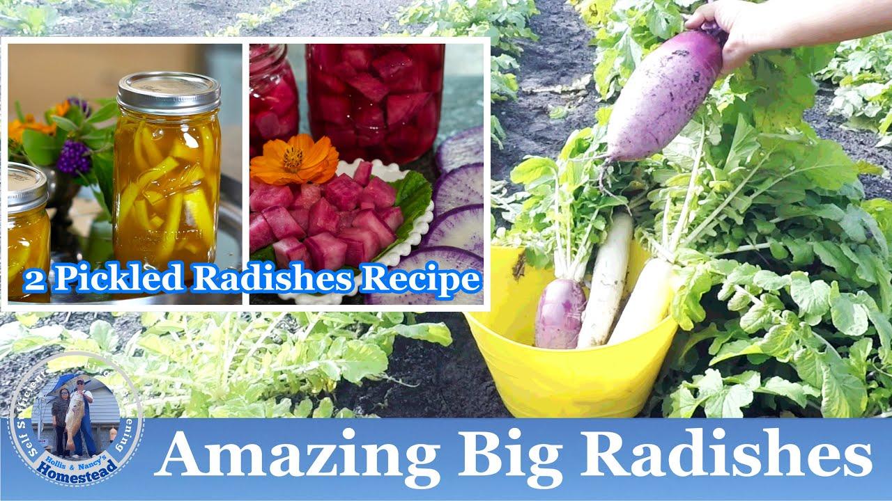 Amazing Big Radishes Harvest l 2 Delicious QUICK Pickled Radishes Recipes