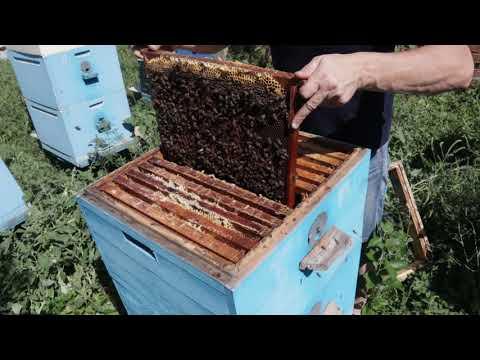 27 08 2020 г Что будет если к пчёлам не заглядывать месяц, я в шоке.