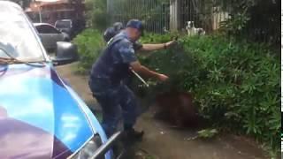 GPA da Guarda Municipal resgata capivara que estava no Jardim Paraíso